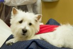 Meet SHEA Breed:  West Highland White Terrier  Likes: Fishing, Dr. Donn Winokur, staff and patients at Ocean Family Dental Favorite foods: Edamame and grilled chicken